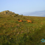 Sometimes on the plateau can be found grazing horses