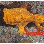_MG_8026 Frogfish