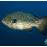 _MG_8467 Grouper